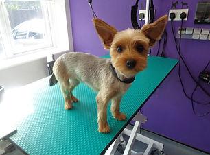 21.10.16 Rosie Yorkshire Terrier 1.JPG