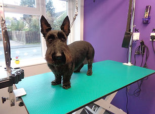 25.10.16 Archie Scottish Terrier 1.JPG