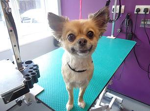 25.04.17 Lilly Chihuahua.JPG