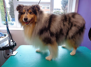 09.01.16 Fred Rough Collie 1.JPG