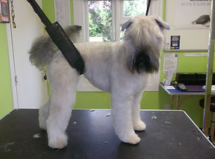 22.08.14 Zeena Soft Coated Wheaten Terri