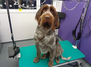 18.11.16 Bentley Italian Spinone 1.JPG