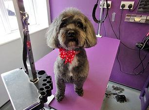 10.07.19 Coco Shih Tzu X Poodle.JPG