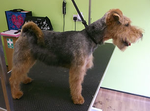23.06.14 Meg Welsh Terrier 2.JPG