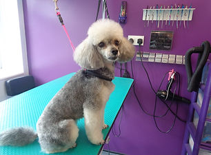 08.06.17 Lily Toy Poodle.JPG