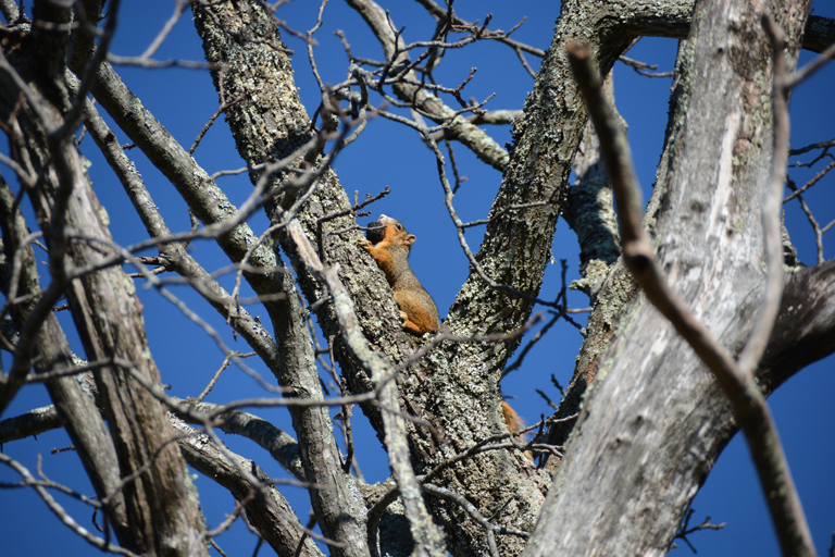 fox squirrel-Ken Perrotte photo