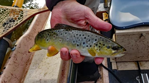Manistee River Fly Fishing Trip Yields Browns, Brookies and a Bonus Big Buck Sighting