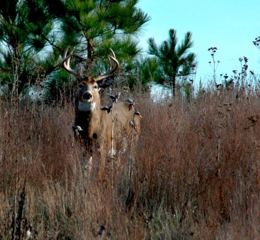 Deer hunting Mature whitetail buck in the brush
