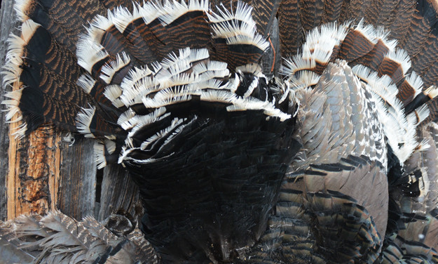 Tagging Merriam's Gobbler with Mossberg .410 Prompts Discussion about the Toughest Turkeys