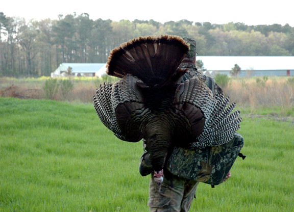 wild turkey management