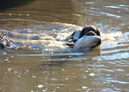 Potomac River duck hunting Virginia
