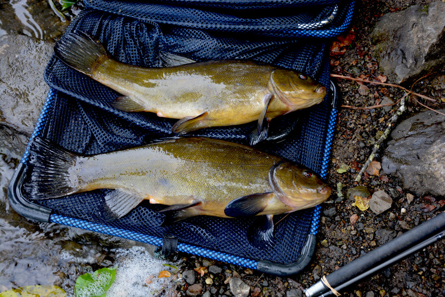 Coarse fishing Ireland tench