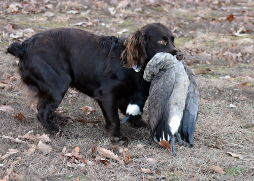 January 2018 duck retrieve - OR - Perrotte photo7