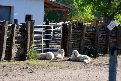 OR-Ranch Mababi's Great Pyrenees