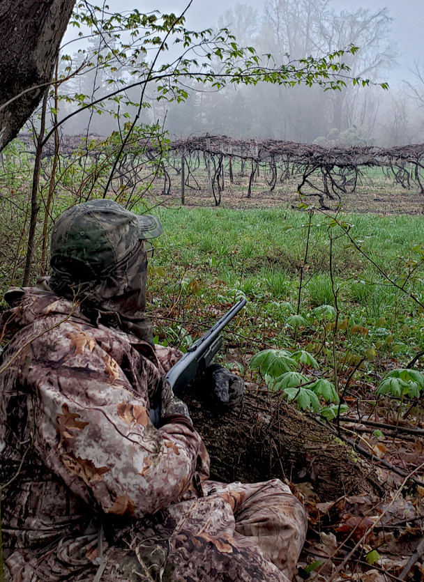Turkey hunting in vineyard