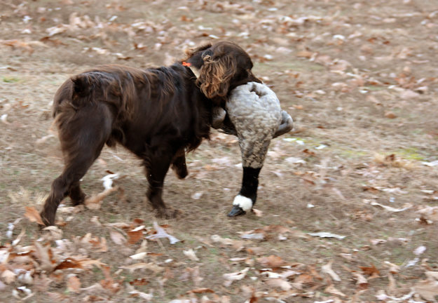 January 2018 duck retrieve - OR - Perrotte photo8