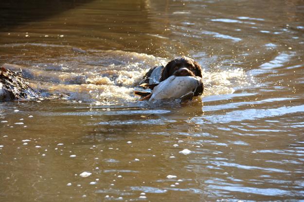 January 2018 duck retrieve - OR - Perrotte photo2.5