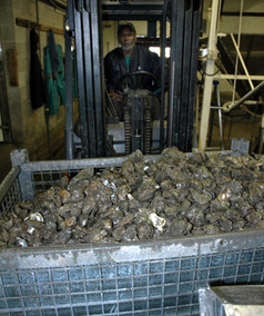 OR - Loading Oysters at Metompkin