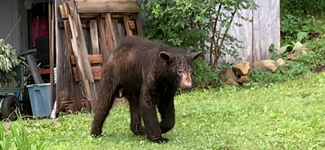 Virginia Black Bears Suffering Second Consecutive Year With High Levels of Sarcoptic Mange