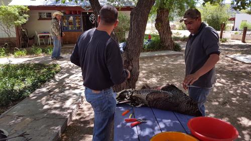 Roberto Valenzuela says hi to cowboys skinning turkey- Ken Perrotte photo