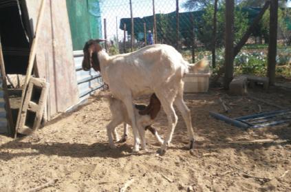 November 2019 - Die Arbeiten an der Küche schreiten voran und die Ziegen freuen sich über Nachwuchs