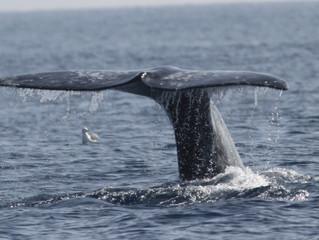 Whale Festival in Mendocino