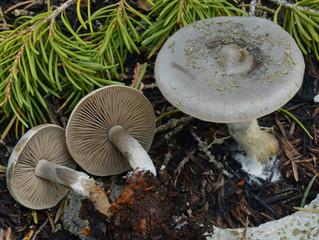 Mendocino County Wine and Mushroom Fest