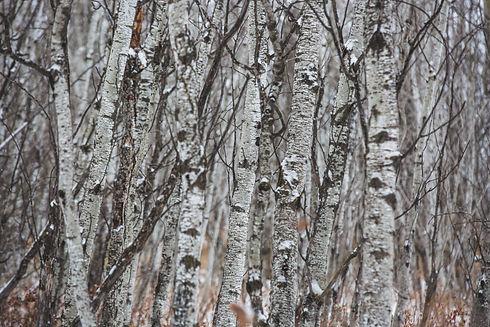 winter-birch-forest.jpg