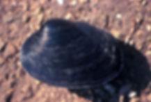 washington clam, martha washington clam, mone