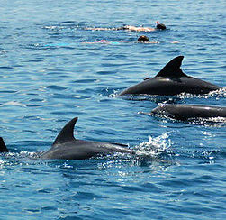 Kizimkazi dolphins.jpg