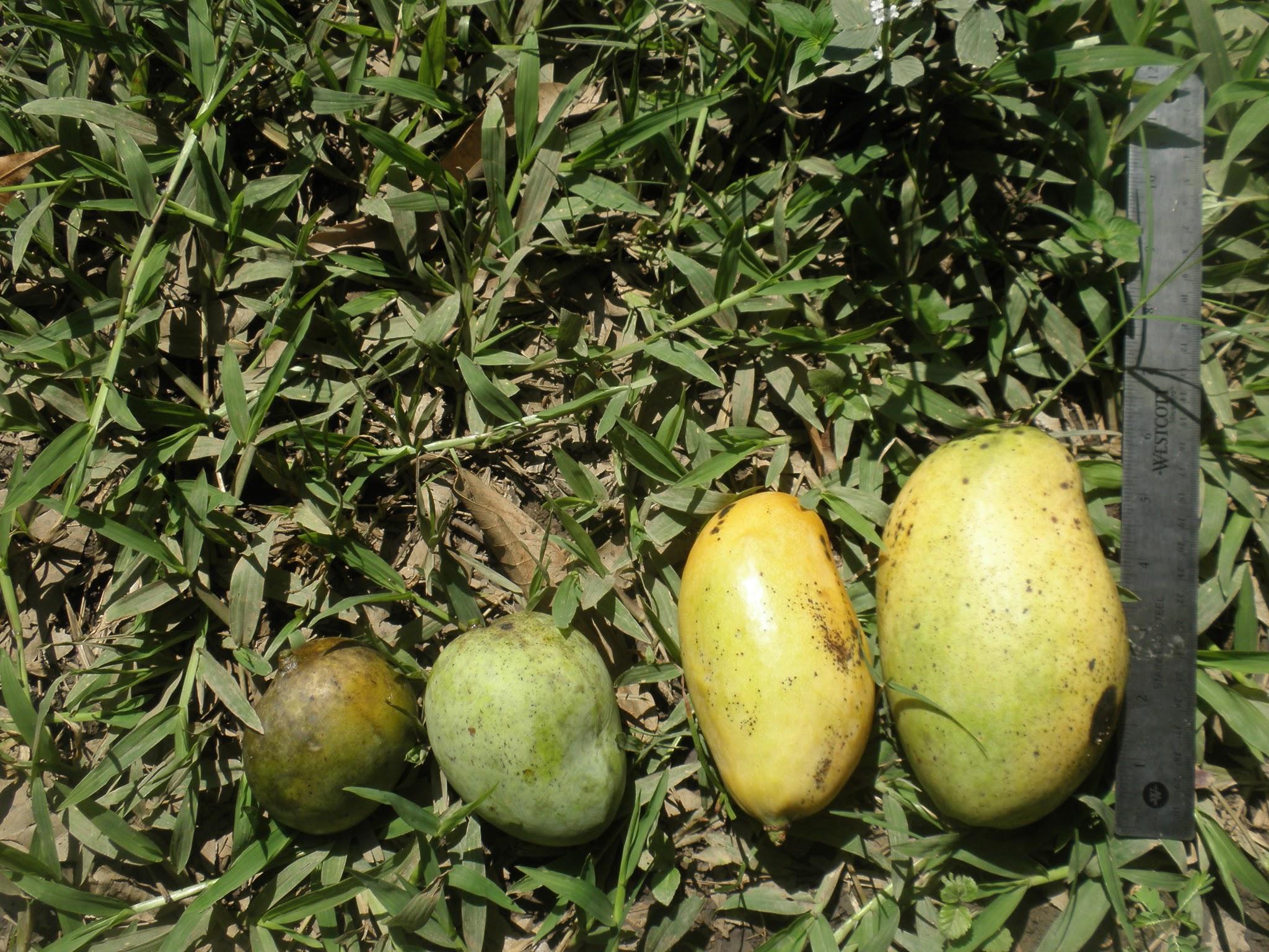 haitianmangos