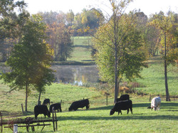 Cattle Grazing on our lawn