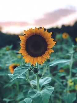 Farmer Jake's Sunflower