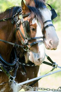 Draft horses pulling a wagon