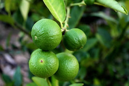 Canva - Fresh Limes on Lime Tree.jpg