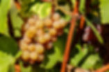 Canva - Grape Fruit on Tree.jpg