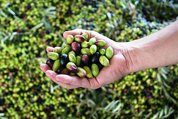 Olives in hand Aus-X2.jpg