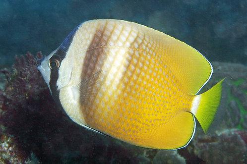Kleini Butterfly