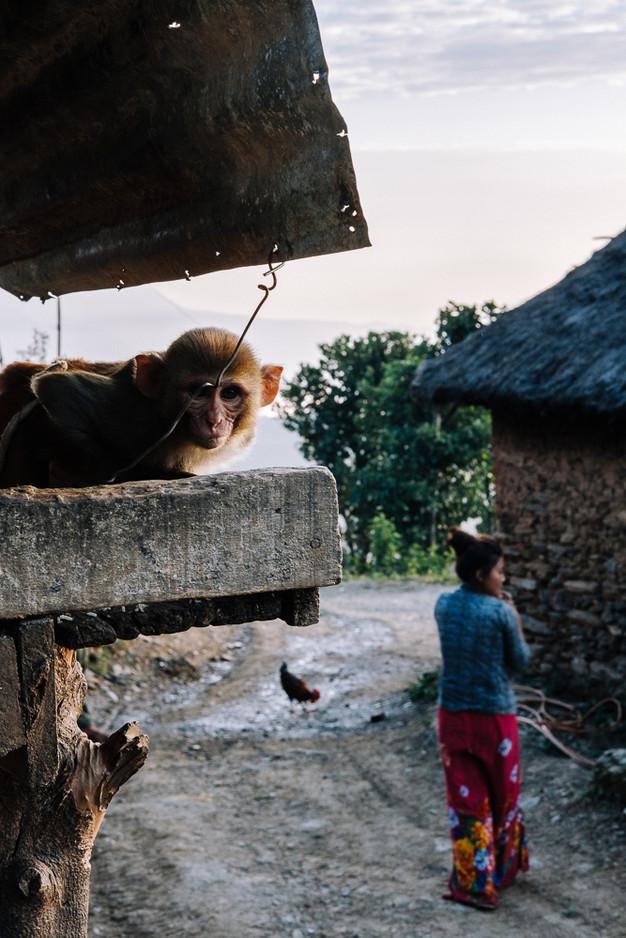 tamed monkey