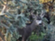 Deer on Course.jpg