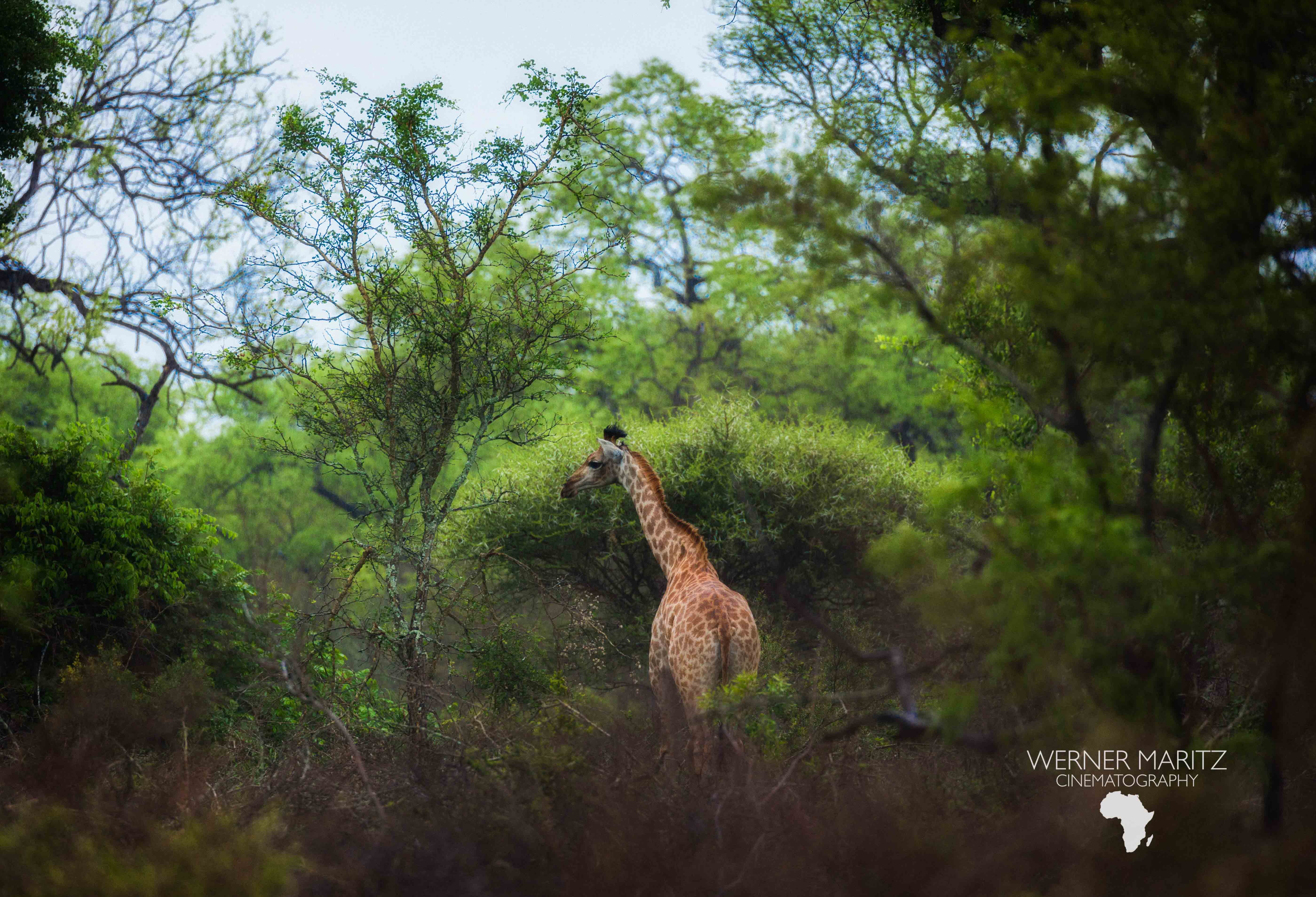 Natural Earth Safaris Giraffe Guided