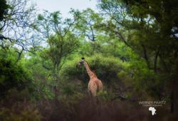 Natural Earth Safaris Giraffe Guided