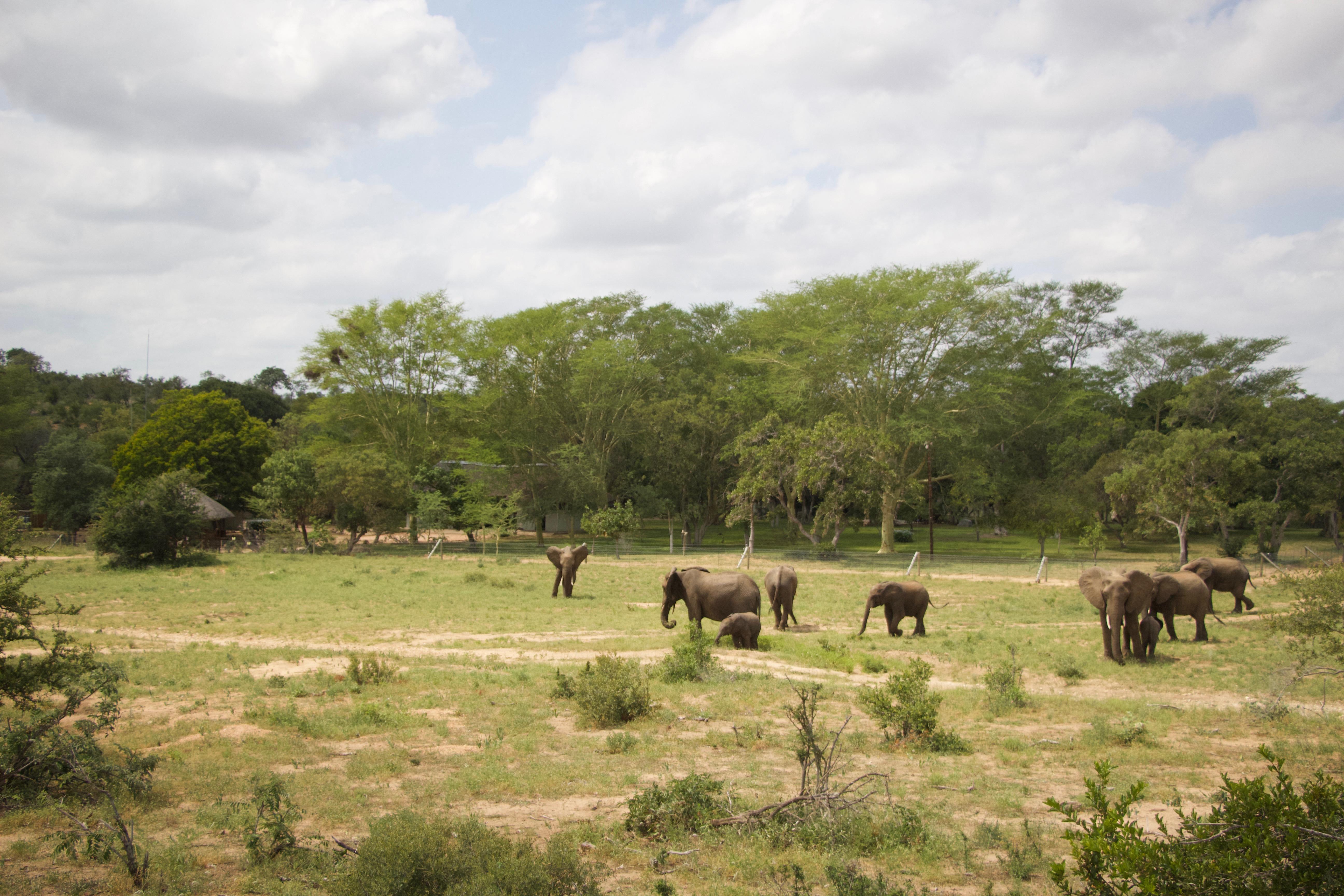 Elephant Herd Next to Camp