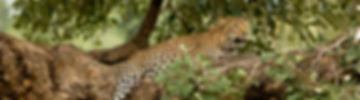 Natural Earth Safaris Leopard Tours