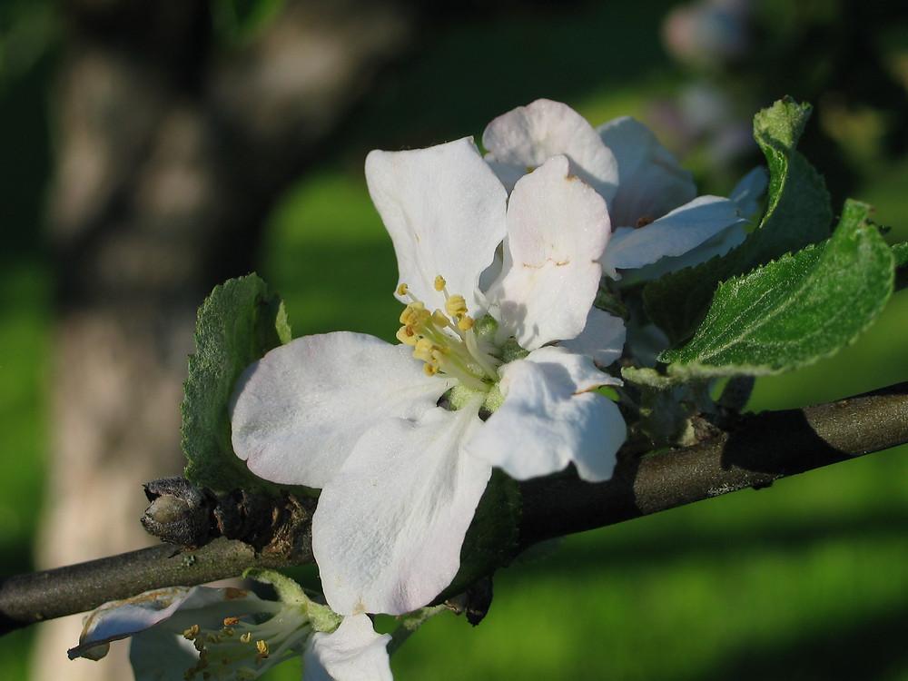 White apple flower on a branch