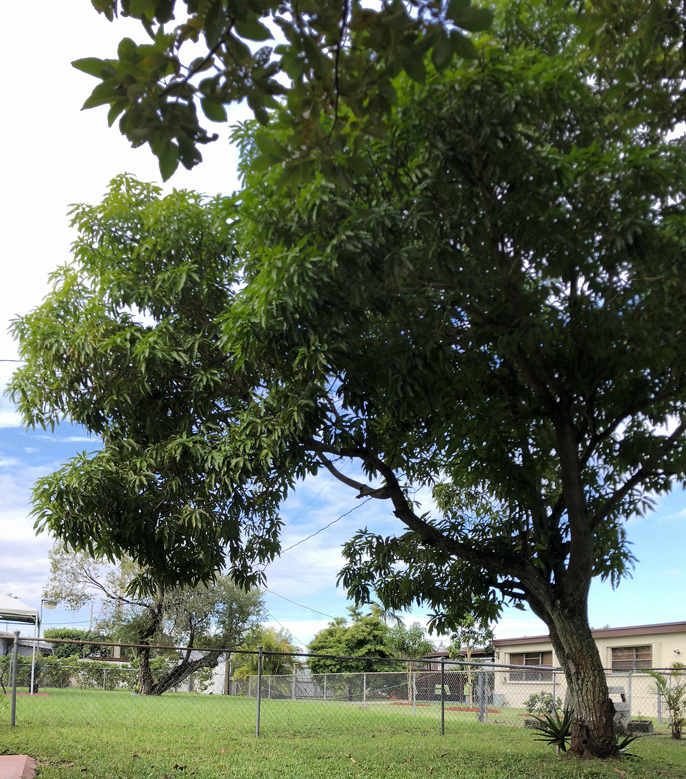 Large mango tree with aloe plants at the bottom, next to a chain-link fence. In a backyard in Florida.