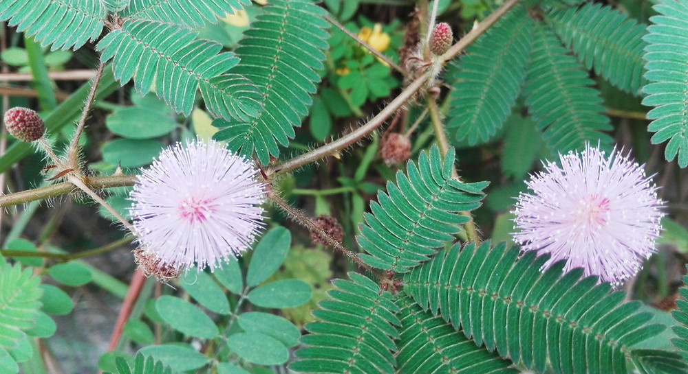 Green leaves with many leaflets, and pink, puffball flowers.
