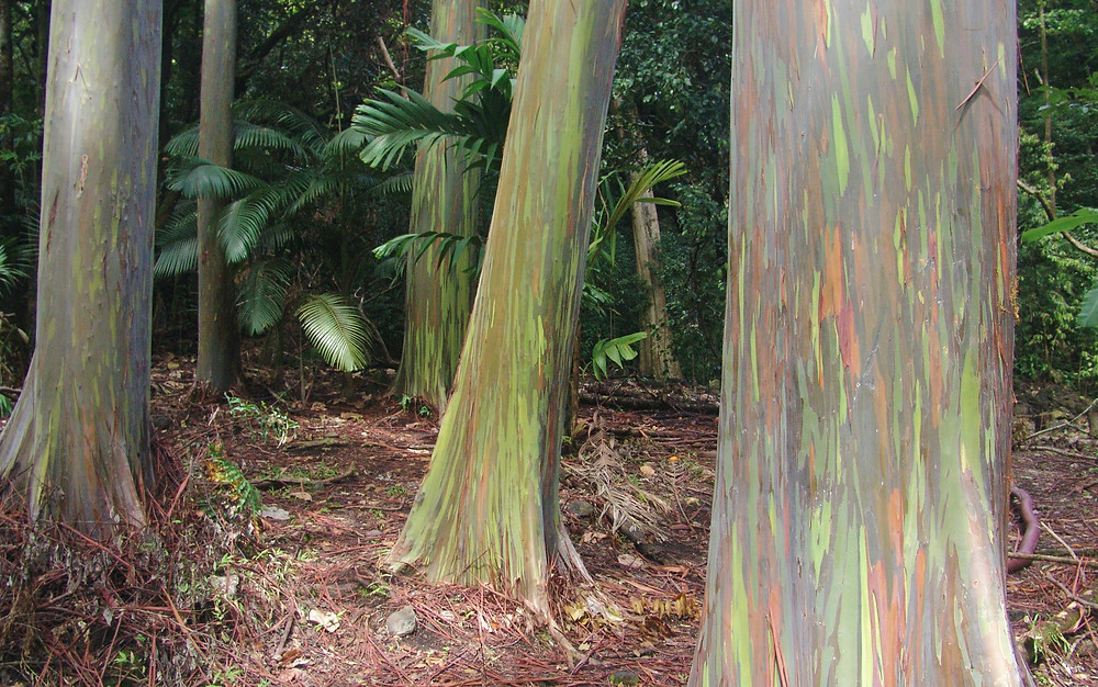 stand of rainbow eucalyptus trees in Maui, Hawai'i. Tree bark is blue, green, red and gray.