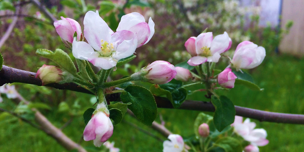 white and pink flowers of a blooming apple tree