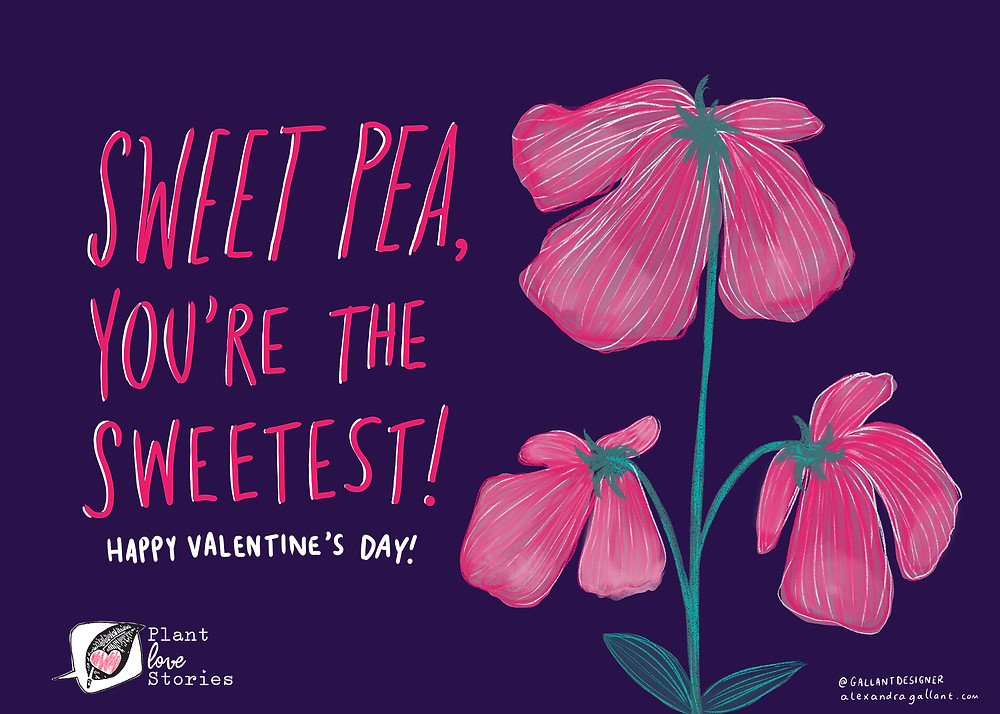 Sweet pea, you're the sweetest! Happy valentine's day, with illustration of sweet pea plant.